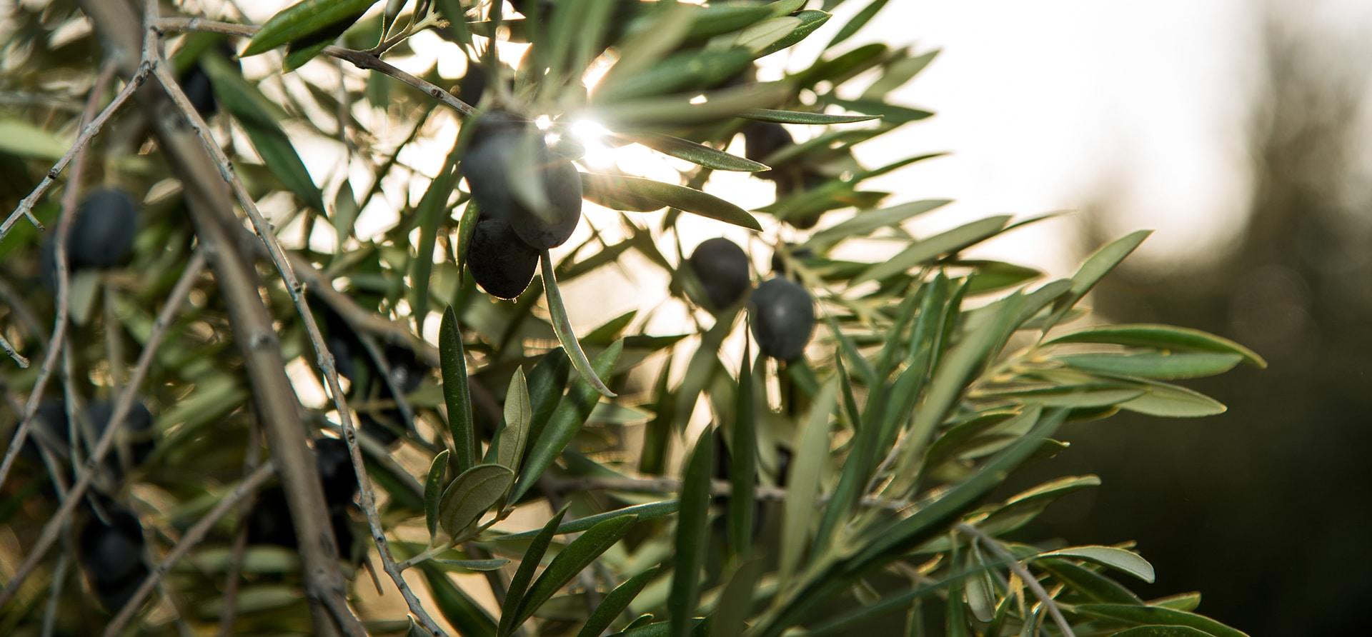 全球的橄榄油