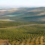 橄榄油产地